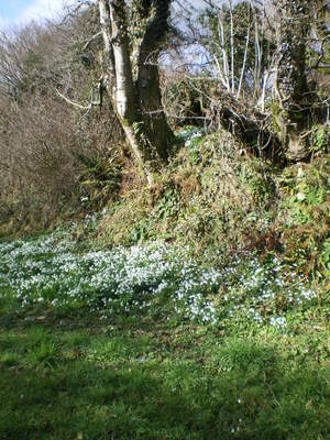 Snowdrops up the track