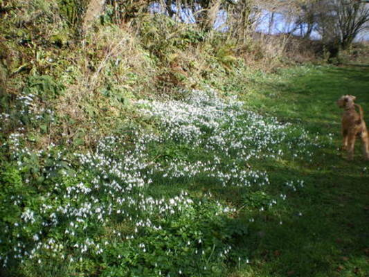 Snowdrops on the walk up to the wood