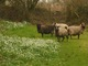 Sheep and Snowdrops