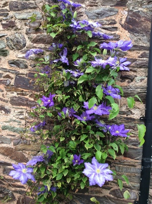 Lovely blue clematis!