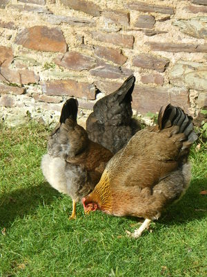 Welsummer hens outside The Old Granary